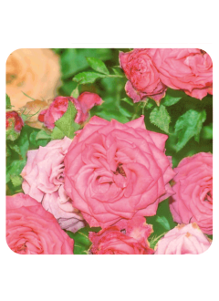 Huile Essentielle Rose de Damas BIO - 2 ml